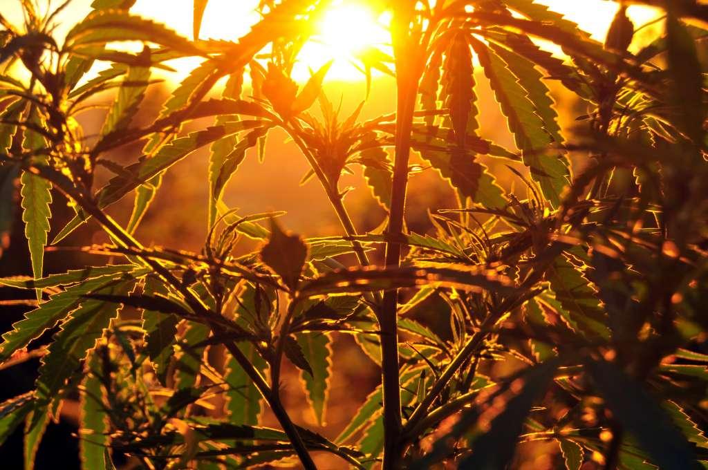 marihuana beleggen